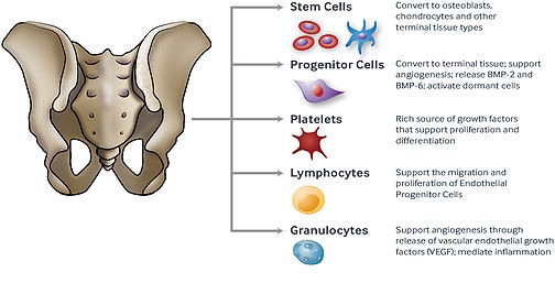 bone marrow stem cell diagram